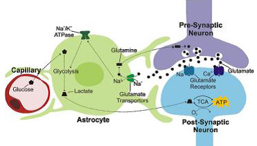 Figure 2: Schematic representation of metabolic trafficking in brain cells (Glutamate-lactate shuttle)
