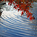 Riples in a pond under autumn leaves