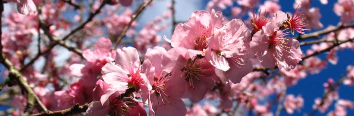 Branch of pink plum blossom